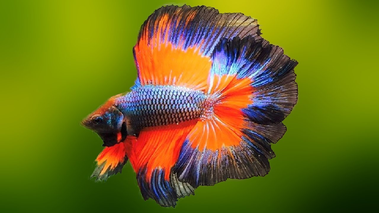10 Most Beautiful Fresh Water Fish in the World