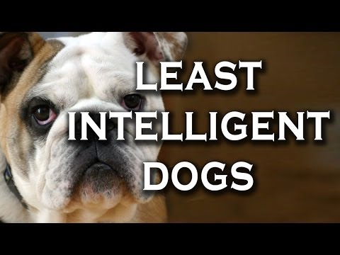 Top 10 Most Difficult Dog Breeds to Train (This Doesn't Mean They are Stupid.)