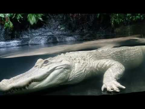 Bob Hauer -  Rare footage of albino alligator