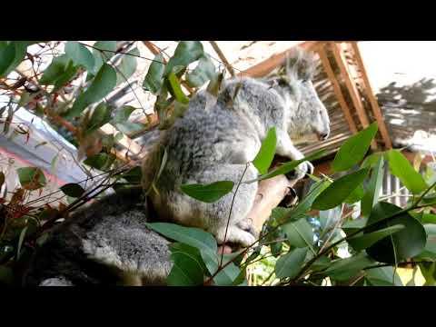 コアラくん  貴重な鳴き声♪