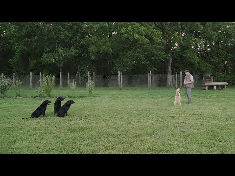 Obedience and Heelwork For Your Retriever