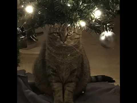 Katze singt O Tannenbaum im andere form! 😂