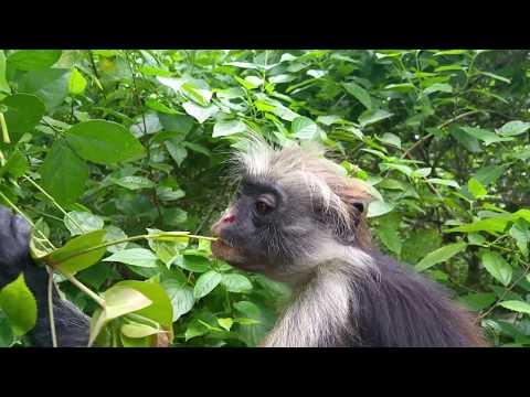VERY RARE footage!!! Zanzibar red colobus monkey close-up !