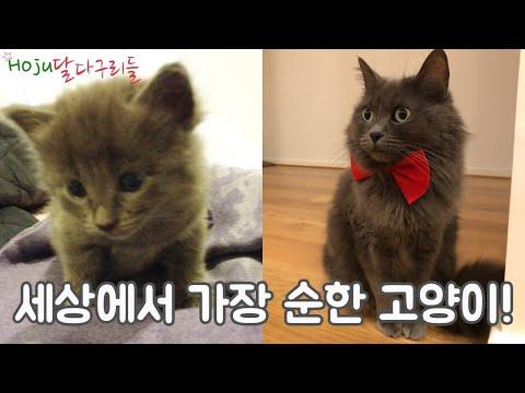 Cute Russian Blue/Nebelung Kitten To Cat (ENG SUB)