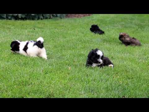 Havanese puppies for sale Matthew Alan Stoltzfus