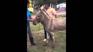 funny donkey ride | gadhe di sawari | khota sawari