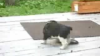 My English Cocker Spaniel Puppy