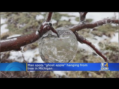 """Ghost Apple"" Found On Tree After Freezing Rain"