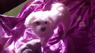 Bichon Maltese - Vs - Rat - Part 2