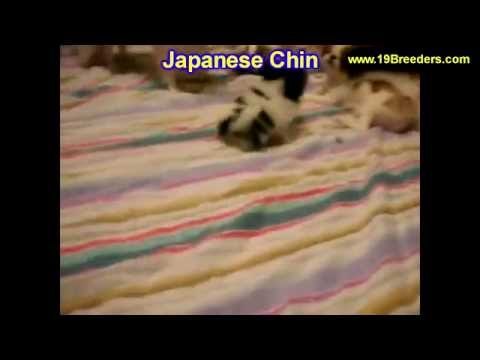 Japanese Chin, Puppies, Dogs, For Sale, In Montgomery, Alabama, AL, 19Breeders, Hoover, Auburn
