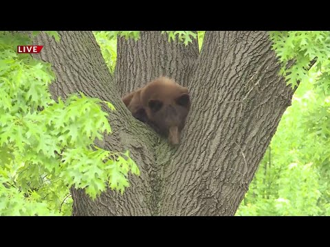Wandering-bear-located-in-a-tree-in-Richmond-Heights