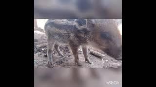 Download suara pangil babi. hutan 100%ampuh