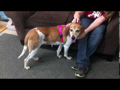 Meet Cindy a Foxhound English currently available for adoption at Petango.com! 5/23/2017 10:31:34 A