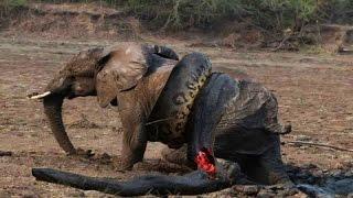 Топ 5 сумасшедших битв животных