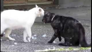 Драки кошек видео!!! Великолепный бой - СМОТРЕТЬ!