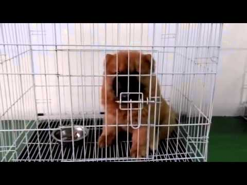 Chow Chow Puppy For Sale - 2 Months, Chow Chow Orange Colo..