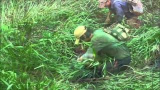 Catching a Mud eel in Vietnam