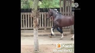Cavalos De Macha Picada Genuína Só O Som Da Macha