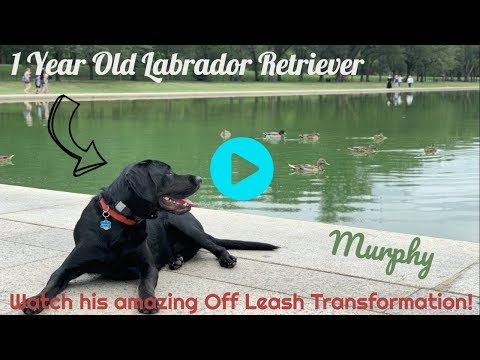 Best Labrador Trainers In PA ||| Off Leash K9 Training, Lehigh Valley ||| 1 Year Old Lab, Murphy