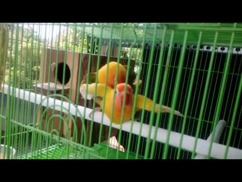 Lovebird kawin di tangkringan