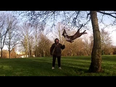 Amazing Acrobatic Dog - tree bouncing 2