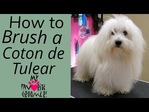 How to Brush a Coton de Tulear