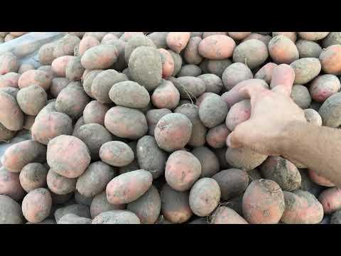 Вопрос: Как выглядит и как растёт картофель Бульба?