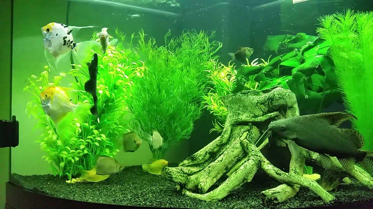Freshwater aquarium knife fish - Black Ghost Knife Fish Vs Feather Fin Catfish
