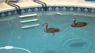 Ducks Pay A Visit To My Swimming Pool