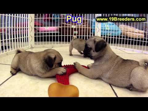 Pug, Puppies, For, Sale, In, Billings, Montana, MT, Missoula, Great  Falls, Bozeman