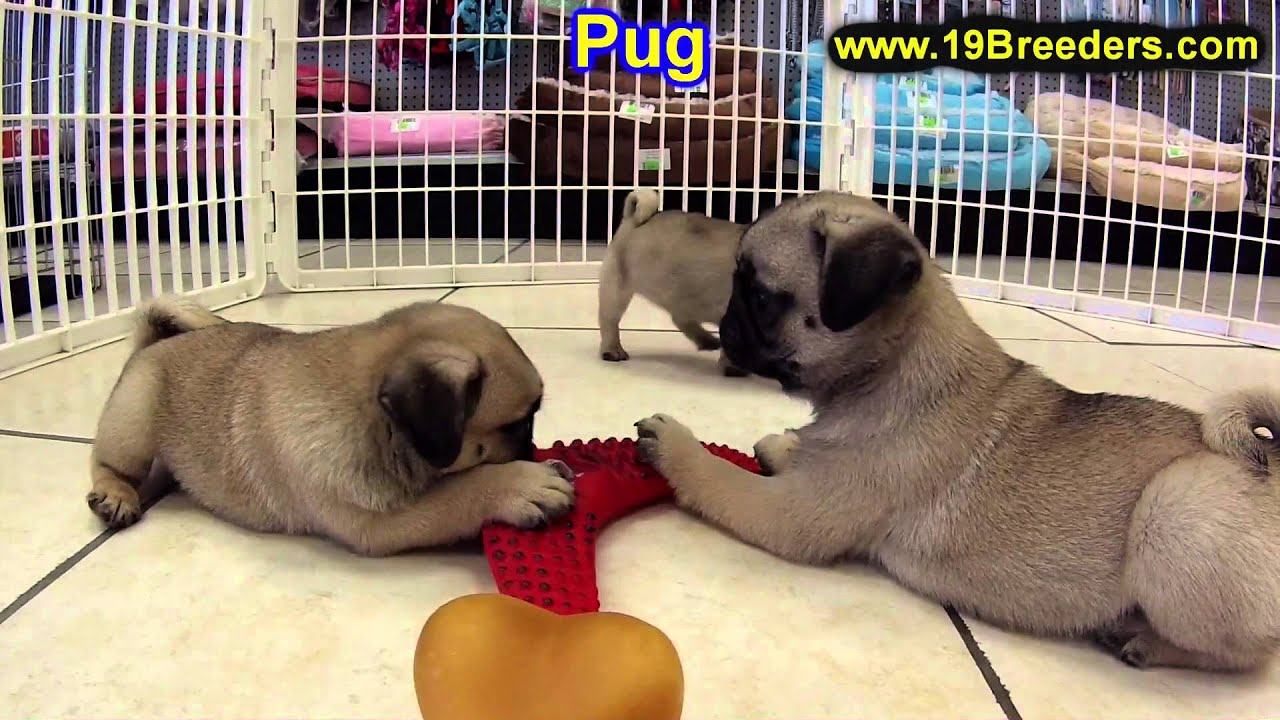 Pug Puppies For Sale In Billings Montana Mt Missoula Great