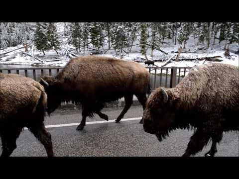 Buffalo crossing a bridge  Yellowstone 28 Apr 17