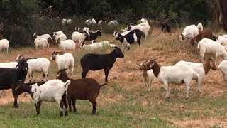 В США козы помогают людям бороться с лесными пожарами