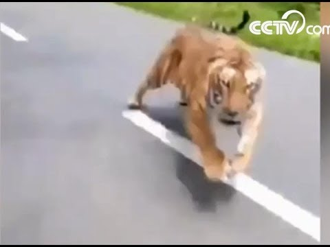 Tiger chases motorcycle on road| CCTV English