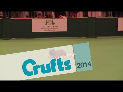 Obreedience   Set Exercise   Team Staffordshire Bull Terrier   Crufts 2014