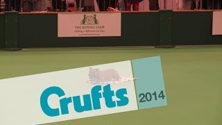 Obreedience | Set Exercise | Team Staffordshire Bull Terrier | Crufts 2014