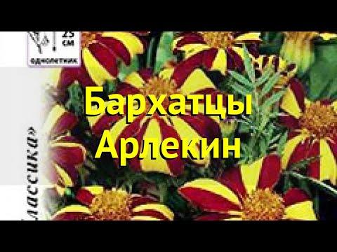 Бархатцы отклоненные. Краткий обзор, описание характеристик tagetes patula nana Арлекин