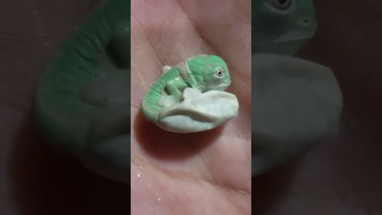 Baby Newborn Youtube A Baby Chameleon Is Born Youtube