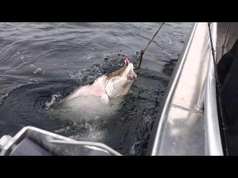 Kveitefiske Troms - Kveite 61 kg - Halibut 134,5 lb