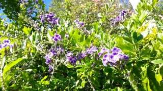 Duranta erecta blue - purple flowers Geisha Girl goldy green   HD 04