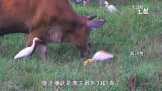 《大自然生趣》 EP36:最愛吃魚的--鷺鷥
