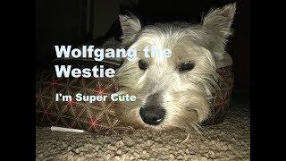 Cutest West Highland Terrier Ever. Super Cute! Silly, Wolfie.