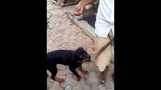 Friendly Rottweiler Female