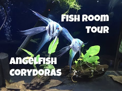 Fish Room Tour - Blue And Koi Angelfish - Blackwater Nano Fish Tank