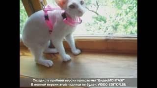 Поводок для кошки с Алиэкспресс . Для кошки Сфинкс.