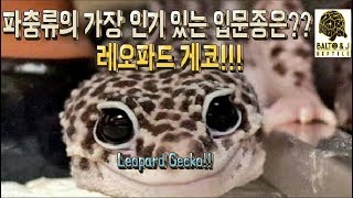 [파충류 키우기] 가장 인기 있는 파충류 입문종은?? …