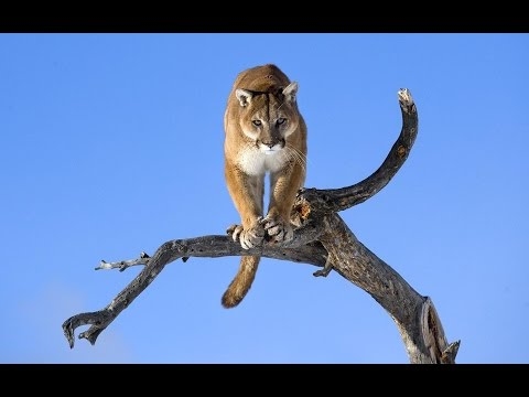 ✨ puma Puma concolor ✨