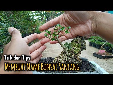 Cara Membuat Mame Bonsai Sancang Dari Stek Pucuk