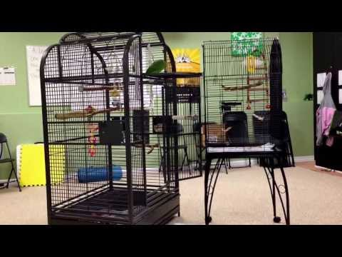 Oliver yellow headed parrot walks to big cage