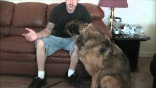 Basic Pincher Collar Obedience And Understanding (dog Training)
